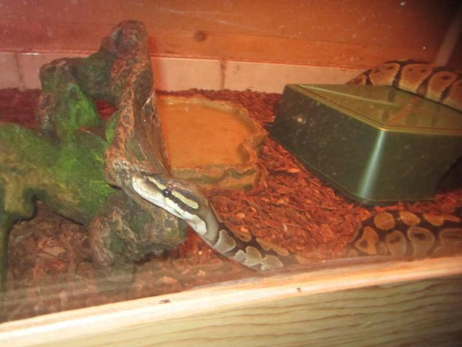 ball python an enclosure