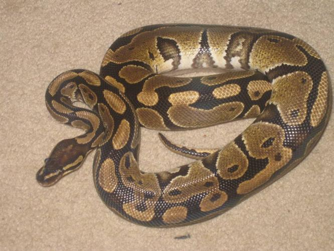 Ball Python male1 year old - with tank etc.