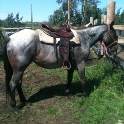 Bay roan AQHA 3 year old mare