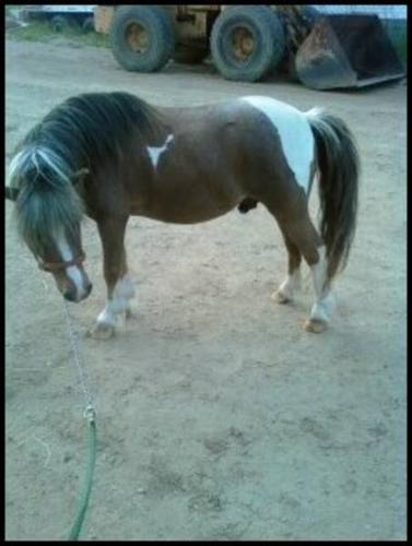 Bay Roan Pinto Miniature Stallion Standing at Stud