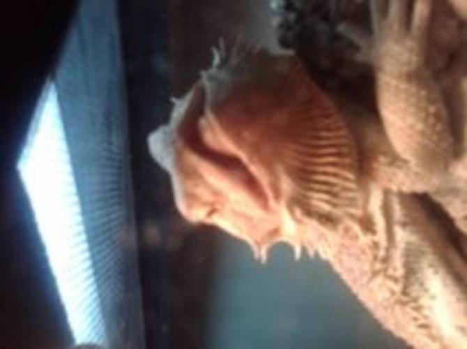 Bearded Dragon with Aquarium and everything else you need