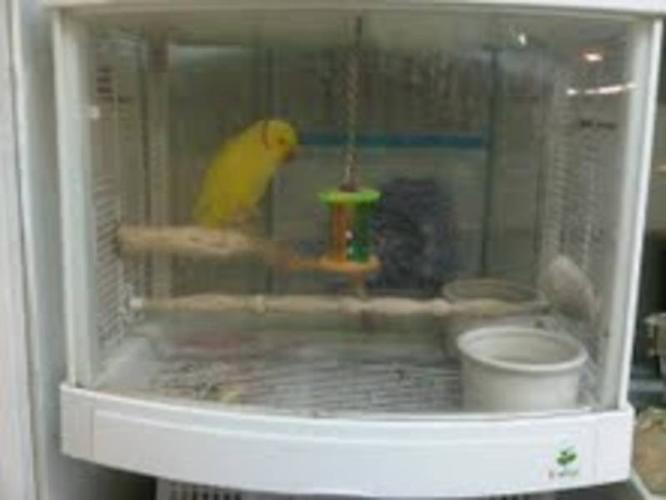 Beautiful yellow Indian Ringneck with cage!!!