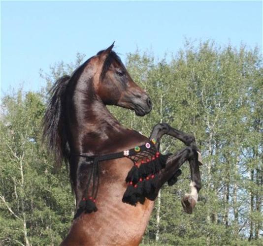 Black/bay Arabian Filly! Magic Dream Grandaughter!