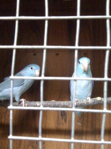 Blue and Green Pairs of Parrotlets for sale!!!!!!!!!!!!!!!!!!!!!