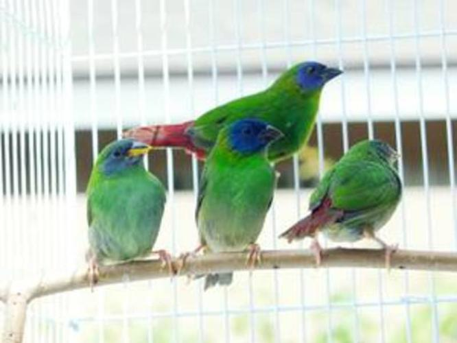 Blue faced Parrot Finches