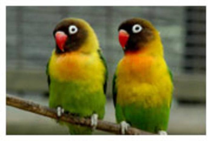 Breeding Pair of African Black Mask Love Birds+an extra female