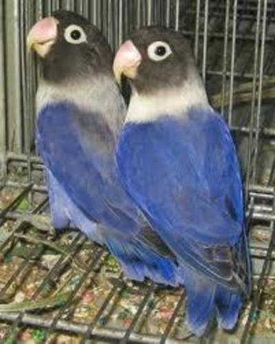 Breeding pair of Violet Black Mask Love Birds+an extra female