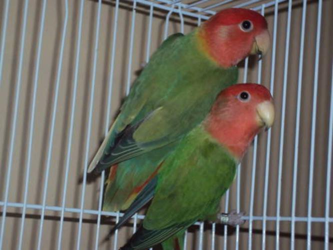 Breeding pairs of Opaline Love Birds