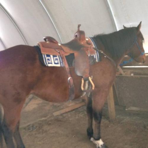 Broke Quarter Horse Gelding