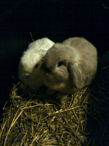 BUNNY, frosty color, Pedigree, 9mths old.