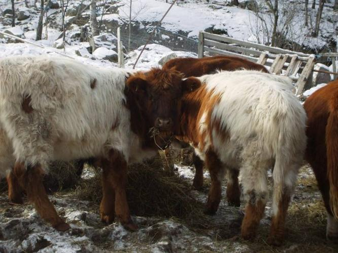 Calves-scottish highland X texas longhorn