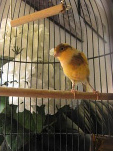 Canary !!