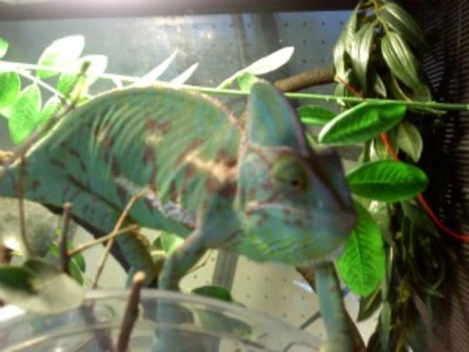Chameleon's, male and female breeding pair.
