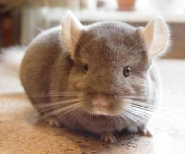 Chinchilla babies and adults for sale- pedigreed