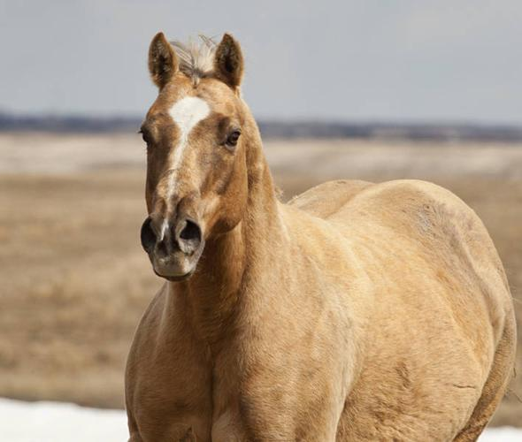 Chocolate Dapple Palomino AQHA mare In Foal for 2012