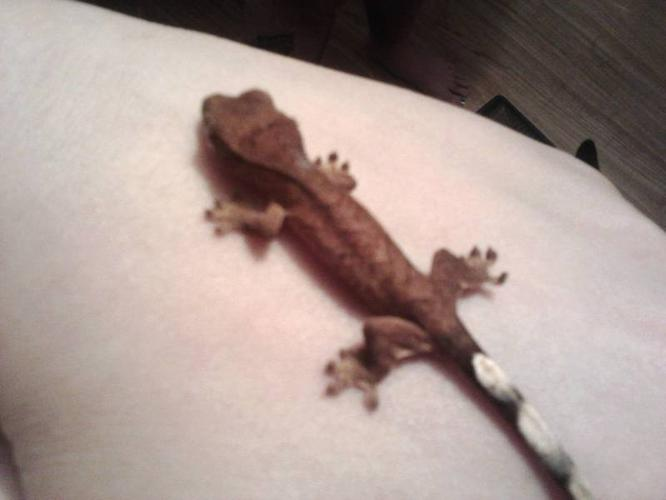 Christmas Geckos, very healthy