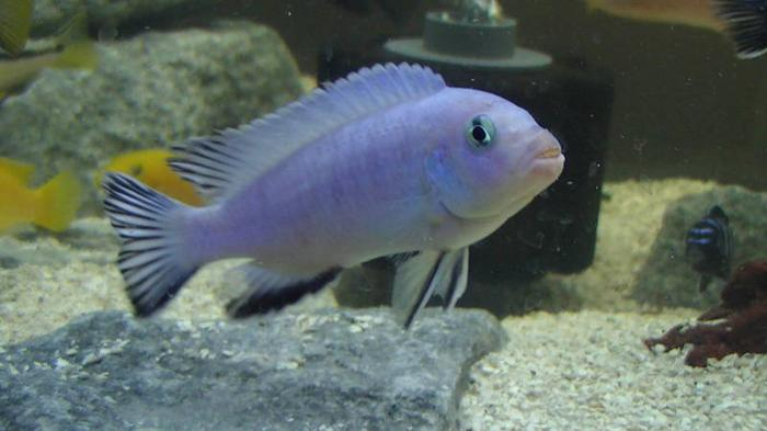 cichlid fry for sale