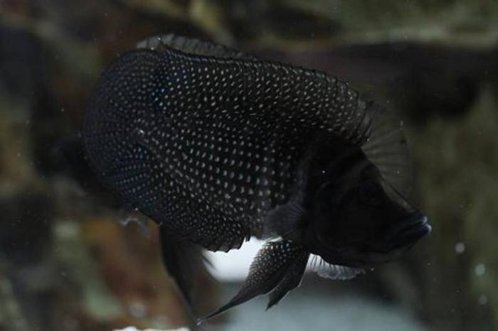 Cichlids Altolamprologus Compressicep and Calvus