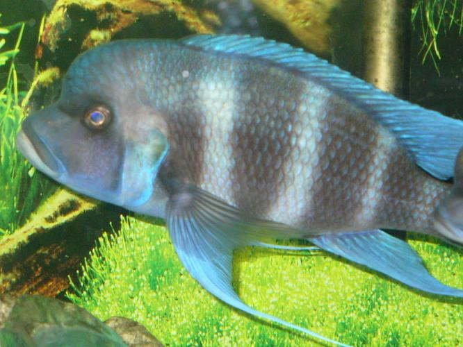 Cichlids andSome Frontosa fry for sale