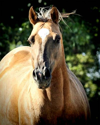 Cluition Choc Dappled Palomino AQHA IFT Champ Arab Stallion