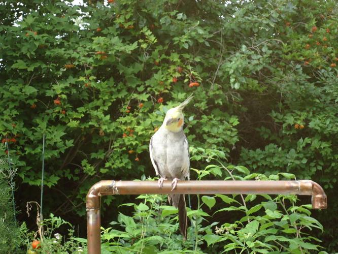 Cockatiel with cage and accessories for sale