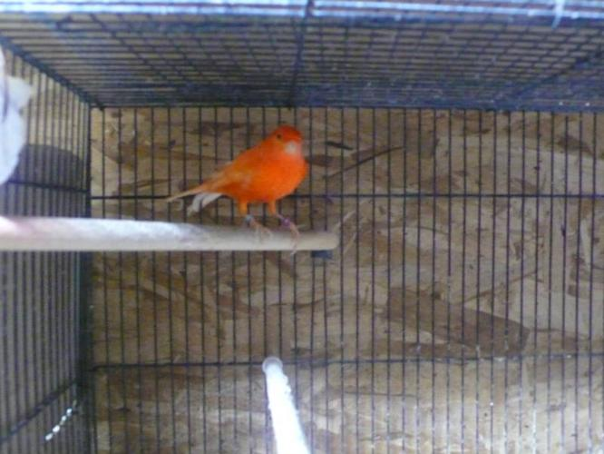 Colored Canaries for Sale