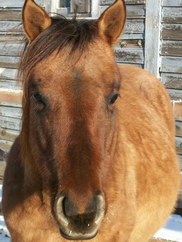 Coming 3 Year Old Registered Dun Roan QH Stud Colt Started!!