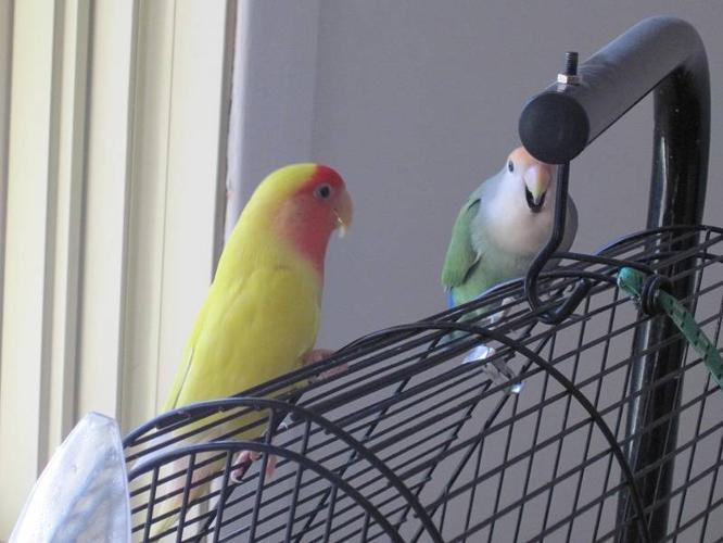 Couple d'inséparables - Lovebirds couple for sale!