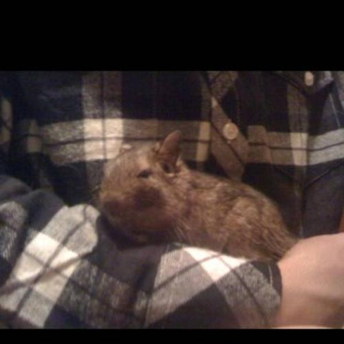Degus for sale 30$ PRICE TO SELL