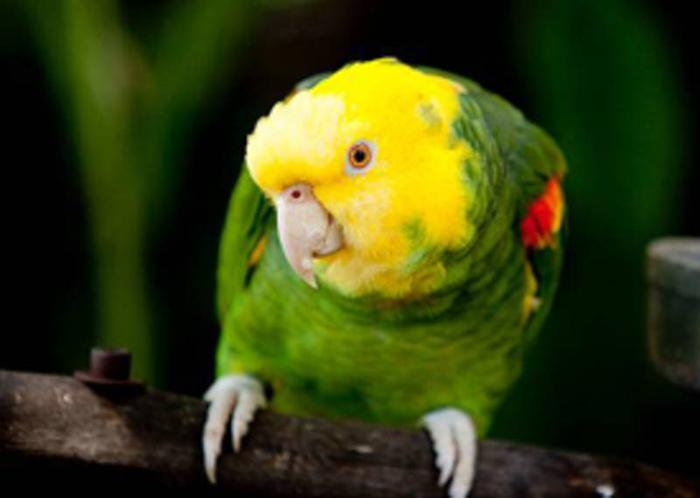 Double Yellow Amazon Male