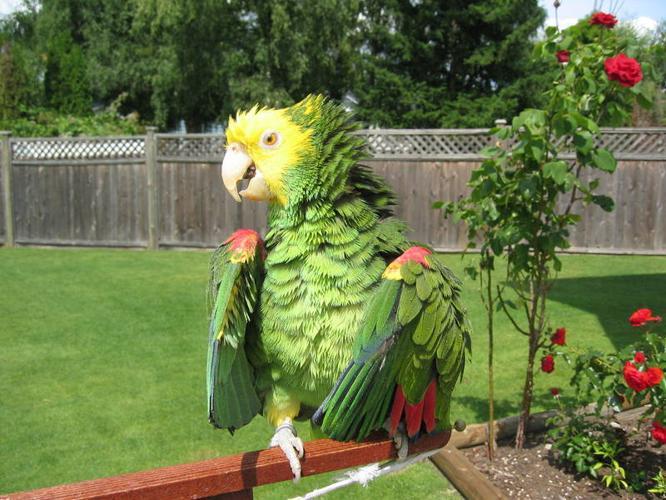 Double Yellow Headed Amazon Parrot