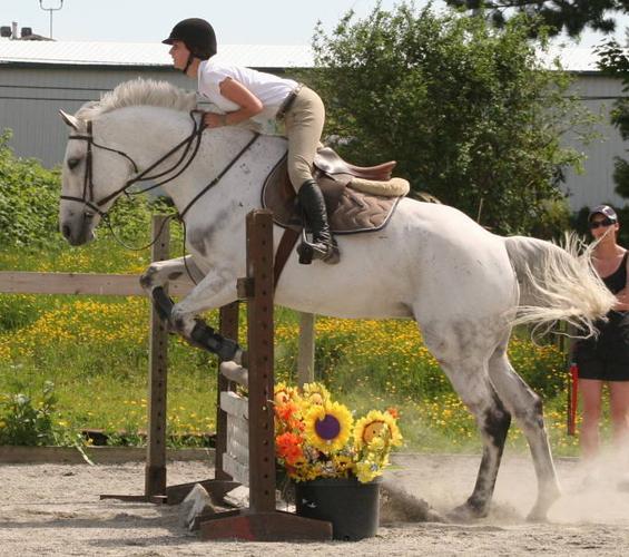 Dutch Warmblood 8yr-17hands Grey-Jumper 3'6