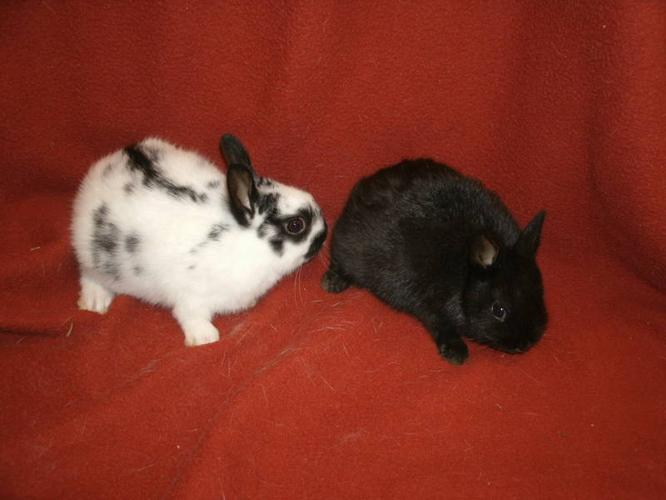 Dwarf rabbits, polish for sale in Exeter, Ontario - Local Market Pets