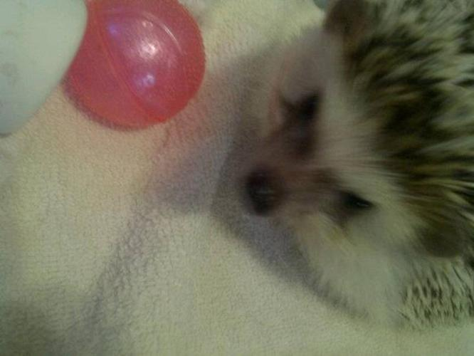 female African Pygmy Hedgehog for sale with everything
