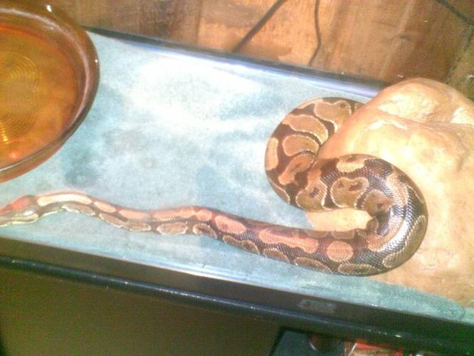 female ball python for sale year and ahalf old $300
