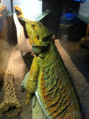 Female color morph bearded dragon