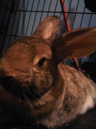 Female Flemish Giant Rabbit Free To A Good Home
