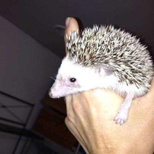 Female hedgehog friendly and healthy 10 months old with cage