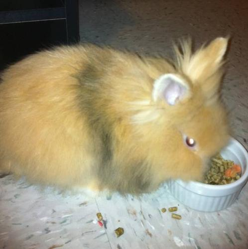 Female Lionhead Bunny For Sale!