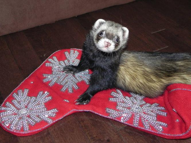Ferret and Reptile Sitters available