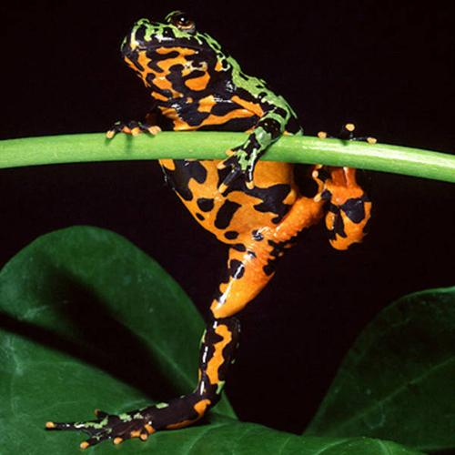 FIREBELLY FROGS