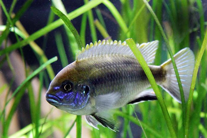 FISH - LANISTACOLA CICHLIDS