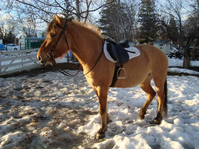 FJORD THOROUGHBRED CROSS MARE