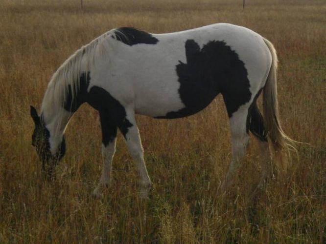 Flashy Registered Paint Mare in Foal for 2012