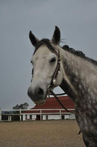 For Lease:Silver Lining 14.3h registered mare