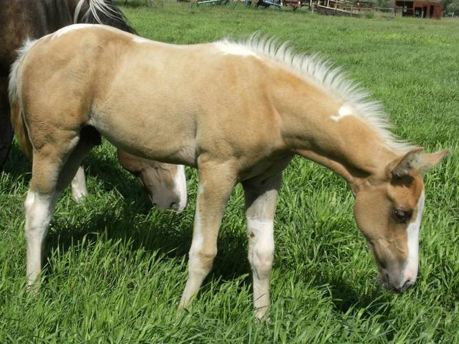 FOR SALE!! Silver Sage Ranch 2011 APHA foal crop!!