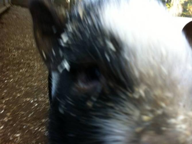 ?FOUR POT-BELLIED PIGS FOR SALE ?