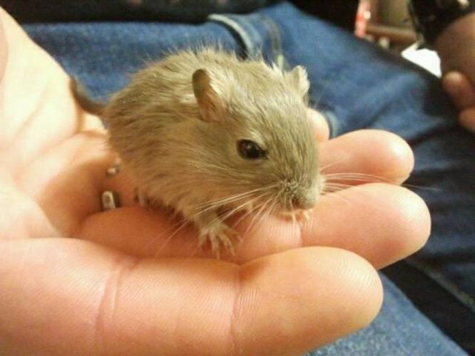 FREE GERBILS!! BABIES/ADULTS!! NO SMELL!!!