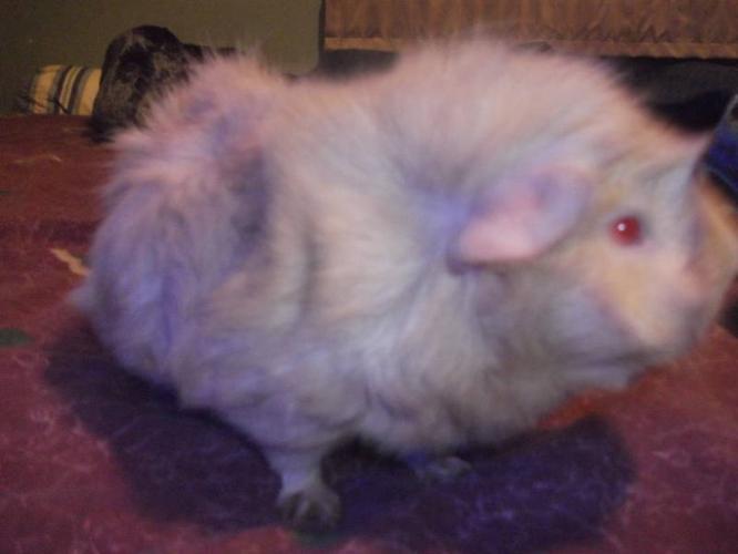 Free guinea pig to good home!