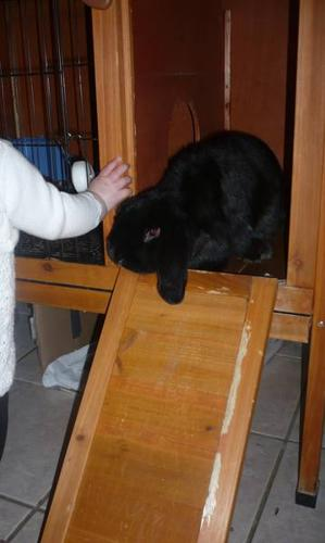 (((FREE)))) TO LOVING CARING HOME *** BLACK RABBIT WITH CAGE